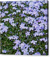 Emerald Blue Creeping Phlox Acrylic Print