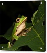 Emerald Eye Tree Frog Acrylic Print