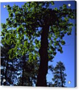 Emerald Oak Acrylic Print