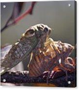 Emerging - Cicada 1 Acrylic Print