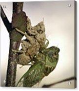 Emerging - Cicada 2 Acrylic Print