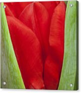 Emerging Red Tulip Acrylic Print