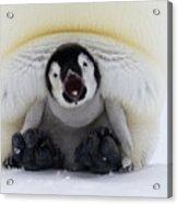Emperor Penguin Aptenodytes Forsteri Acrylic Print by Rob Reijnen
