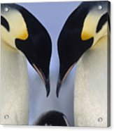 Emperor Penguin Family Acrylic Print