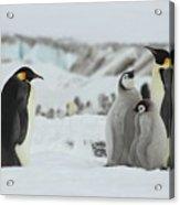 Emperor Penguin Landscape Acrylic Print
