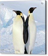 Emperor Penguins, Weddell Sea Acrylic Print