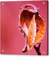 Empty Seed Pod  Acrylic Print