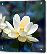 Enchanting Lotus Acrylic Print