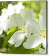 Encyclopedia Of Spring Image Apple Blossom  Acrylic Print