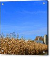 End Of Season Corn 2015 Acrylic Print