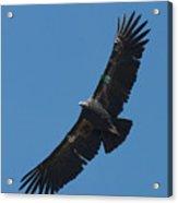 Endangered California Condor Acrylic Print