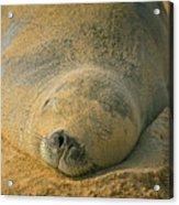 Endangered Monk Seal Takes A Siesta At Poipu Beach. Acrylic Print