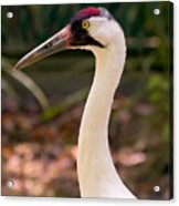 Endangered Species - Whooping Crane Acrylic Print