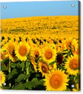 Endless Sunflowers Acrylic Print