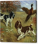 Energetic English Springer Spaniels Acrylic Print by Walter A. Weber