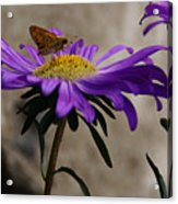 Engaged In Purple Acrylic Print