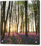 English Bluebell Wood Acrylic Print