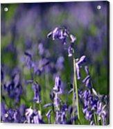 English Bluebells In Bloom Acrylic Print