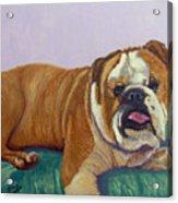English Bull Dog Acrylic Print