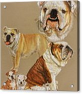 English Bulldog Acrylic Print