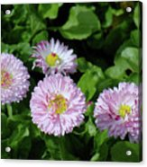 English Daisies Acrylic Print