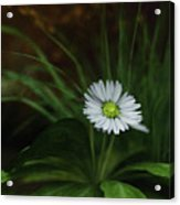 English Daisy Acrylic Print