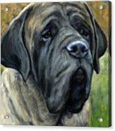 English Mastiff Black Face Acrylic Print