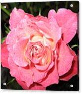 English Rose Acrylic Print