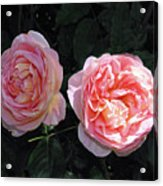 English Rose Pink Abraham Darby  Acrylic Print