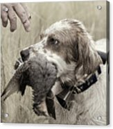 English Setter And Hungarian Partridge - D003092a Acrylic Print by Daniel Dempster