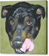 English Staffordshire Bull Terrier  Acrylic Print