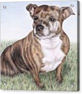 English Staffordshire Terrier Acrylic Print