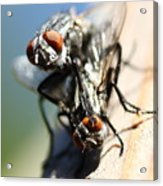 Entomologists Discover Why People Want To Be A Fly On The Wall Acrylic Print