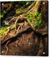 Entwined Roots Acrylic Print