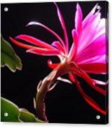 Epiphyllum Acrylic Print