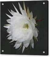 Epiphyte Blossom - Epiphyllum Oxypetalum Acrylic Print