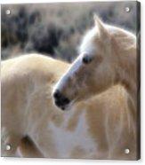 Equine Golden Glow Acrylic Print