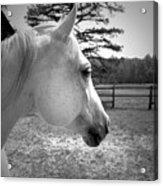 Equine Profile Acrylic Print