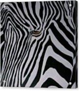 Equus Grevyi   Acrylic Print
