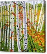 Erin's Birch Trees Acrylic Print