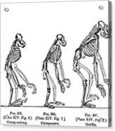 Ernst Haeckel, Evolution Of Man, 1879 Acrylic Print