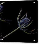 Eryngium Acrylic Print