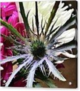 Eryngium Thistle Acrylic Print