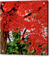 Essence Of Japanese Maple Tree Acrylic Print