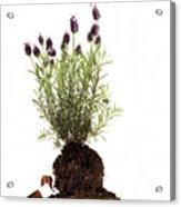 Essential Oil Of Spanish Lavender Acrylic Print