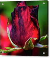 Eternal Love Rose Acrylic Print