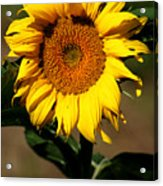 Eternal Sun Flower Acrylic Print