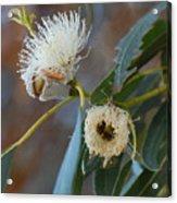 Eucalyptus Bloom Acrylic Print
