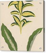 Euonymus Japonica Aurea Variegata, Maranta Micans Acrylic Print