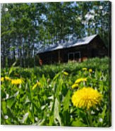 Euphemia Mcnaught Homestead Chicken Coop And Dandelions Acrylic Print
